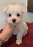 Chico- small 10 Chico- 10 wk male Maltese-  SOLD!